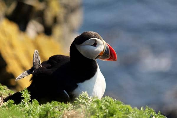 Popular birds of Iceland